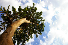 Looking up a tree. Trunk to a blue sky royalty free stock images