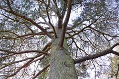 Looking up into a tree at Arley Arboretum in the Midlands in England stock photo