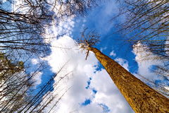 Looking up tree with blue sky Royalty Free Stock Photos