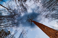 Looking up tree with blue sky Royalty Free Stock Image