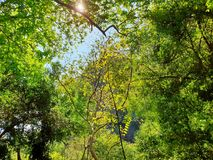 Looking up at tree with blue sky and sunshine on beautiful natural background. Green leaves as a background, Green background, Tree silhouette on sky. Abstract Stock Images