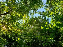 Looking up at tree with blue sky and sunshine on beautiful natural background. Green leaves as a background, Green background, Tree silhouette on sky. Abstract Royalty Free Stock Photography