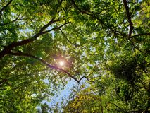Looking up at tree with blue sky and sunshine on beautiful natural background. Green leaves as a background, Green background, Tree silhouette on sky. Abstract Stock Photography