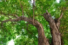 Looking up at tree branches. Green leaves and interesting bark detail on tree in Spain stock image