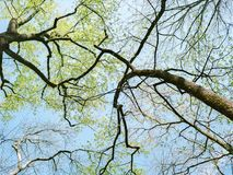 Upward view of tree branches in spring stock images
