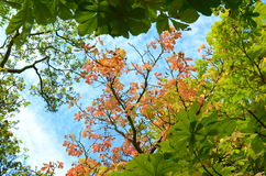 Looking up at the tree canopy in autumn Stock Photo