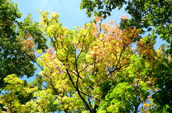 Looking up at the tree canopy in autumn Royalty Free Stock Photo