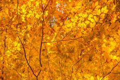 Looking up at the tree canopy showing bright autumn leaves in br. Ight color Stock Photo