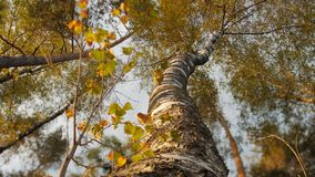 Looking up at tree canopy on sunny day. Tilt shift lens stock video