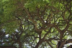 Picture of Tree Limbs in Maui Island. Looking up at tree limbs Stock Photos