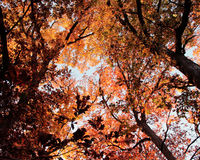 Looking up into a tree with orange and yellow leaves. Photo taken upwards toward sky of big tree with yellow and orange leaves during fall Royalty Free Stock Photos