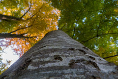 Looking up a tree and seeing the bark with green and yellow leav. Looking up a tree and seeing the yellow and green leaves Royalty Free Stock Image