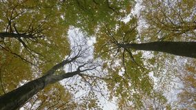 Looking up at the tree tops and spinning around. On an autumn day stock video