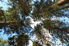 Looking up into the tree tops. Royalty Free Stock Image