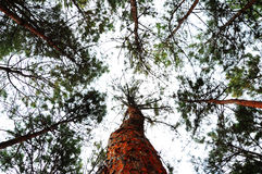 Looking up Tree under sky royalty free stock photo