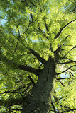 Looking up at a Tree. Upwards view of a tree with bright green and yellow leaves Royalty Free Stock Photos