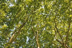 Looking up through the trees Royalty Free Stock Photography