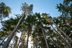 Looking up at Trees. Tall trees in the forest against the blue sky and sun Royalty Free Stock Photography