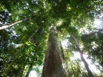 Looking up the trees in the jungle royalty free stock photos