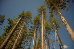 Looking Up Trees. Low angle of evergreen trees Stock Photos