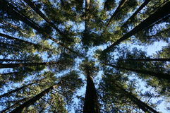 Looking up at trees. Looking up at the trees on Mount Maxwell, Salt Spring Island, BC, Canada Royalty Free Stock Image