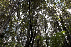 Looking Up Into Trees Rain Forrest Hawaii Royalty Free Stock Photography