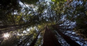 Treetops at Giant Redwood Forest. Looking Up at treetops in Humboldt Redwood State Park, California stock video footage