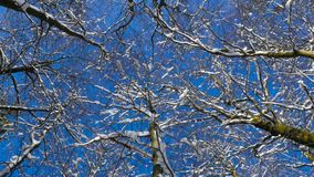 Looking up at treetops in the winter. Dolly shot stock video