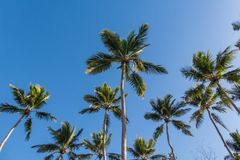 Looking up at tropical palm trees against a blue sunny sky royalty free stock photo