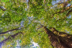 Looking up in tropical rainforest with green high tree leaf on b. Ranches. Nature abstract background concept Royalty Free Stock Photo