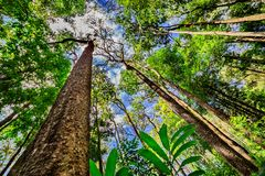 Looking up the trunk of a giant rainforest Stock Image