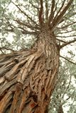 Looking up the trunk of a tall pine tree Royalty Free Stock Images