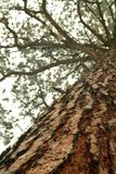 Looking up the trunk of a tall pine tree Stock Photo
