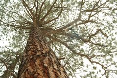 Looking up the trunk of a tall pine tree Royalty Free Stock Photo