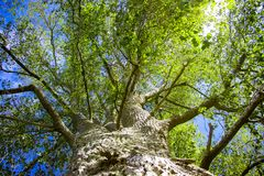 Looking up a tree trunk at the green leaves and blue sky on a sunny day. royalty free stock images