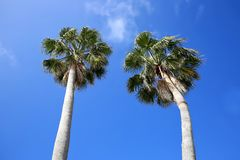 Looking up at two tall beautiful cabbage palm trees stock image