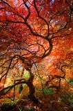 Looking up under the canopy of a beautiful Japanese maple tree with red and orange leaves stock photo