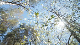 Looking up under the canopy of a plum tree. stock footage