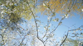 Looking up under the canopy of a plum tree. Camera rotates under flowering plum tree. Slow motion stock video