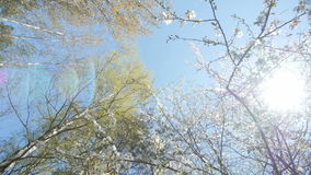 Looking up under the canopy of a plum tree. stock video footage