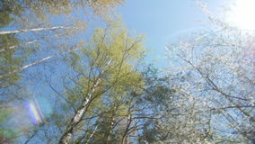 Looking up under the canopy of a trees. Spring stock footage