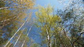 Looking up under the canopy of a trees. Spring stock video