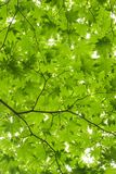 Looking up under bright green maple leaves. Looking up from under some bright green japanese maple leaves on thin branches Stock Image
