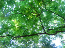 Looking Up. Wards at bright green leaves on a thin tree limb royalty free stock photos