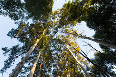 Looking up among very high eucalyptus trees. With green leaves Royalty Free Stock Image