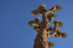 Looking Up From Underneath a Joshua Tree Royalty Free Stock Images