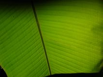 Looking up view under the banana tree royalty free stock photo