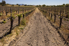 Looking Up A Vineyard Row Stock Images