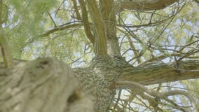 Looking up a Willow Tree Trunk. Medium long low angle high dynamic range shallow depth of field low tracking slider shot during a sunny spring day, looking up at stock video footage