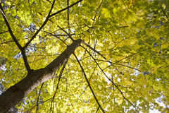 Looking up at yellow leaves. Looking up high into the canopy of a tree with yellow leaves Royalty Free Stock Photos